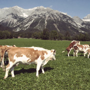 Jungvieh und Mutterkühe am Marharterhof